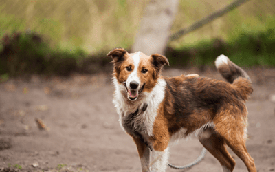 Lees hier alles over een Border Collie trimmen