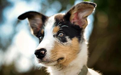 Lees hier alles over de Border Collie en Australian Shepherd