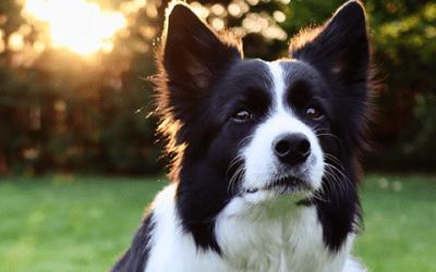Alle informatie over een Border Collie pup