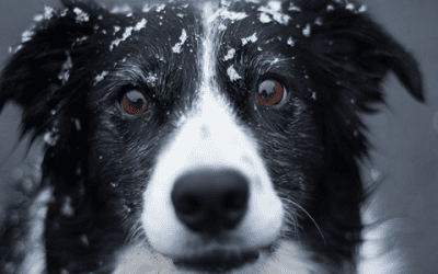 Lees hier alles over Border Collie training