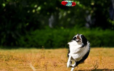 Lees hier alles over de Border Collie zwart